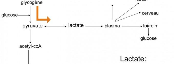 Acide lactique : cet acide peut provoquer de nombreuses douleurs musculaires